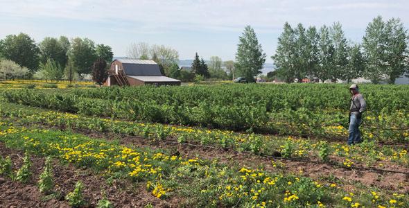 Les plants de cassis courent sur huit hectares.
