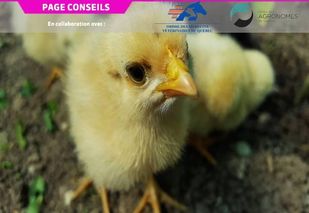 Le duck adenovirus-1, ou DAdV-1, est responsable du syndrome de la chute de ponte chez les poules pondeuses et il doit être immédiatement rapporté aux autorités sanitaires lorsque détecté chez celles-ci. Photo : Gracieuseté OMVQ