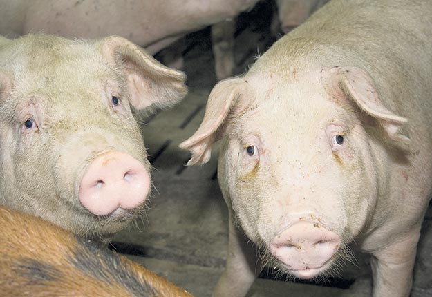 Un projet de porcherie suscite du mécontentement parmi les résidents du Canton de Valcourt, en Estrie. Ceux-ci ont forcé la tenue d'une séance publique de consultations par la MRC du Val Saint-François. Photo : Archives/TCN