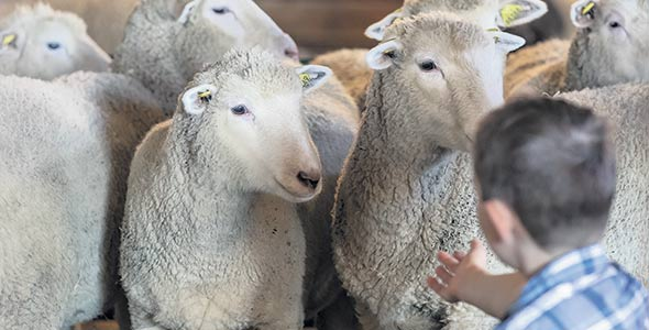 Les enfants se plaisent à proximité des moutons.