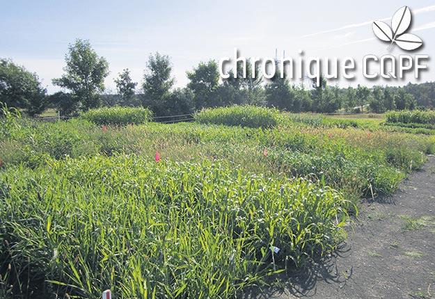 Un projet de recherche a été mis en place dans six régions du Québec pour évaluer la productivité d'espèces fourragères annuelles et pérennes dans le contexte de sécheresses répétées et de changements climatiques. Photo : Gracieuseté du CQPF