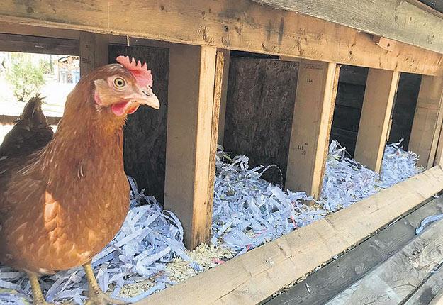 Au même moment où le Groupe Coderr a sorti ses ballots de papier déchiqueté au printemps, la fièvre des poules pondeuses frappait plus fort que jamais, propulsée par la pandémie. Photo : Groupe Coderr