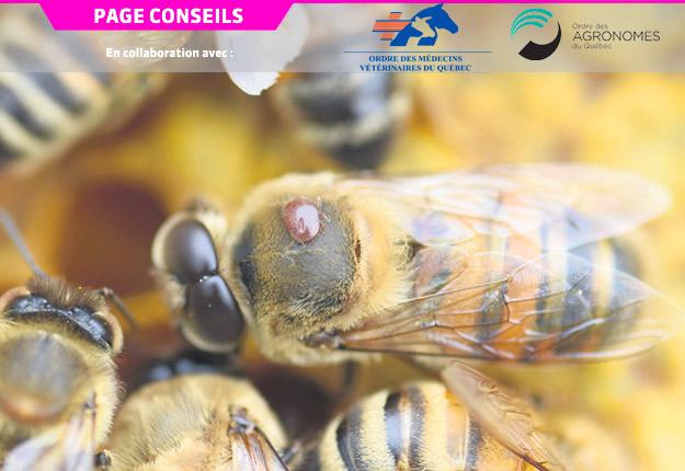 La mite Varroa destructor, reconnaissable par sa couleur rouge, est ici attachée sur le thorax de l'abeille. Photo : Faculté de médecine vétérinaire de l'Université de Montréal