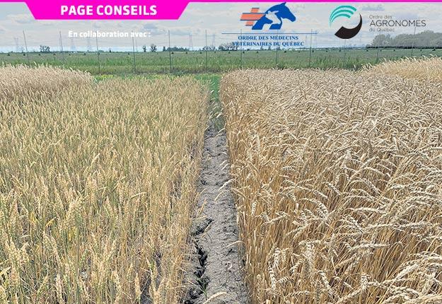 Une parcelle de blé de printemps à gauche et une parcelle de blé d'automne à droite à la ferme expérimentale de l'IRDA, à Saint-Bruno-de-Montarville, le 21 juillet 2020. Photo : Gracieuseté de Francis Allard