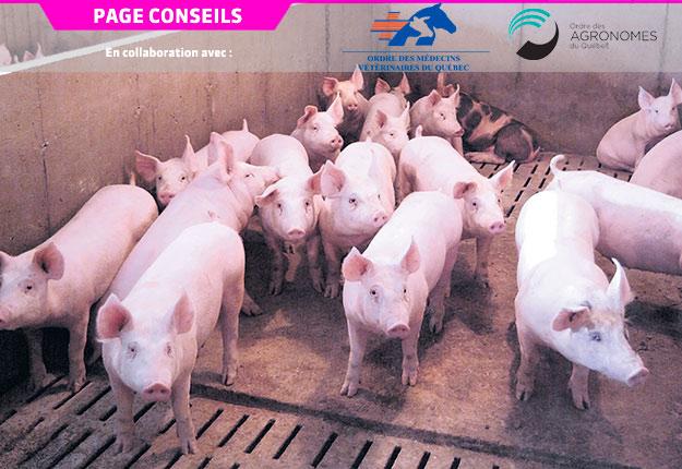 Une bonne mise à jeun des porcs diminuerait de moitié le risque de mortalité durant le transport. Photo : Gracieuseté du CDPQ