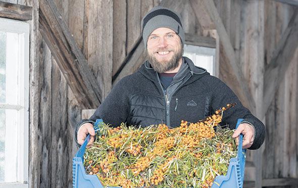 En 2019, trois tonnes et demie de baies d'argousier ont été récoltées à la ferme.