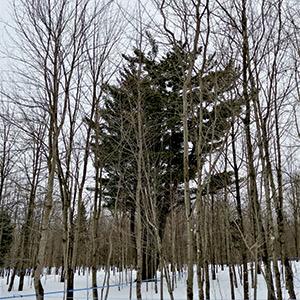 Un pin blanc vétéran a été préservé au milieu des érables à sucre pour permettre plus de biodiversité et de résilience. Photo : Frank Perreault