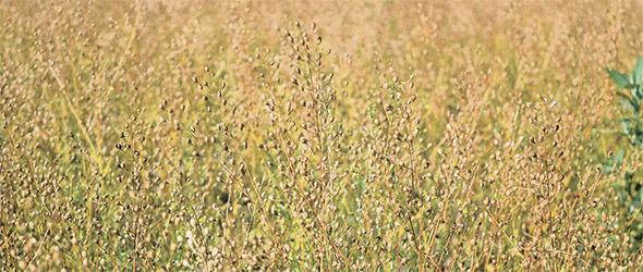 La caméline est une plante à végétation courte qui nécessite peu de chaleur. À la Ferme Oliméga, on la sème même si le sol est encore gelé.