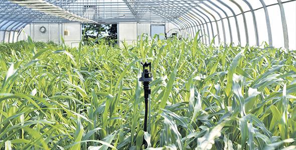 L'amélioration des sols est au cœur de la mission de la Ferme coopérative Tourne-Sol. Cette année, l'équipe mène des essais avec des engrais verts dans l'une de ses serres. Le sorgho a particulièrement bien poussé.