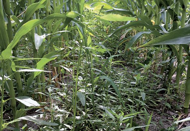 L'amarante tuberculée est une espèce avec une grande plasticité. Certaines plantes peuvent mesurer jusqu'à deux mètres de hauteur. Elle est aussi capable de grandir sous la canopée de cultures, tout en arrivant à produire des fleurs et des graines viables. Photos : Sandra Flores-Mejia