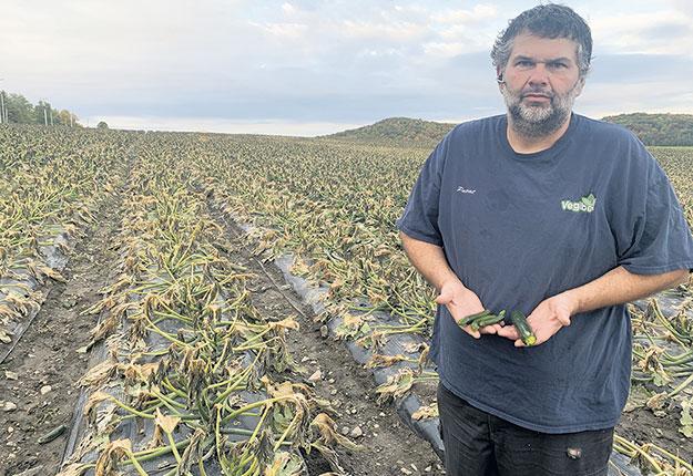 Pascal Lecault estime avoir perdu 40 % de sa production de zucchinis, en raison du gel hâtif sur plusieurs jours. Photo : Gracieuseté de Pascal Lecault