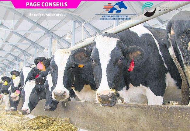 En moyenne, une vache ayant vêlé de jumeaux au moins une fois a tendance à demeurer moins longtemps dans le troupeau que les autres.