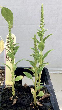 Lors de la réalisation d'un test classique, la survie de plantes avec peu de dommages ainsi que la présence de fleurs sont des indicateurs de la résistance à la matière active testée.