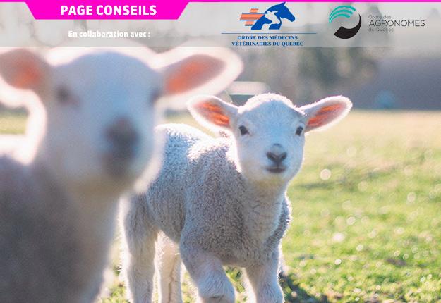 Au Québec, la coccidiose ovine affecte principalement les agneaux des exploitations ovines intensives. Photo : Gracieuseté de l'OMVQ