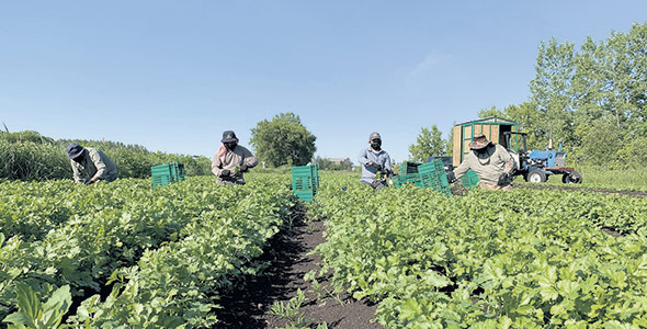 Environ 1800 travailleurs locaux recrutés aux champs par l'entremise des centres d'emploi agricole ont travaillé dans une ferme du Québec cet été.