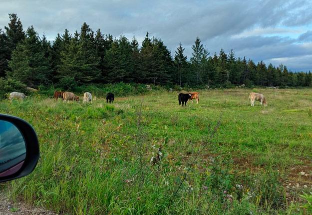 Plusieurs photos du troupeau en fuite ont été partagées sur Facebook au cours de l'été. Photo : Caroline Lavoie