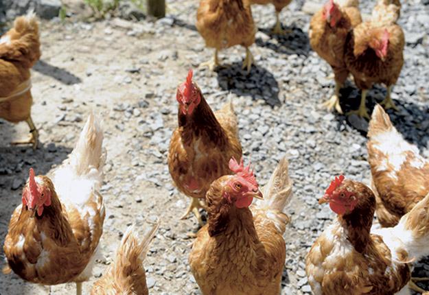 Un projet pilote permettra à dix producteurs hors quota d'élever jusqu'à 2 000 poulets et de commercialiser leurs volailles localement. Photo : Archives/TCN