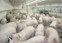 Des discussions entre les Éleveurs de porcs du Québec et Olymel ont eu lieu pour pallier le problème d'écoulement des porcs. Photo : Archives/TCN