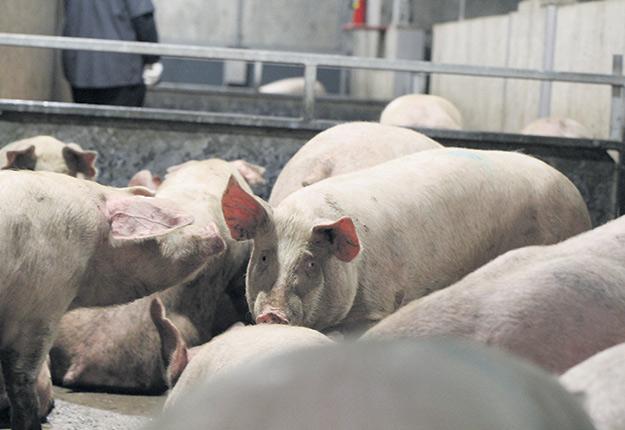 La peste porcine africaine provoque toujours un déséquilibre des prix de la viande de porc sur le marché mondial. Photo : Archives / TCN