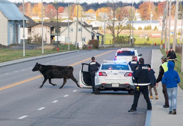 Après être sortie de son enclos, la vache s'est promenée dans le quartier résidentiel entourant la ferme de la famille Proteau. Photos : Steve Jolicoeur