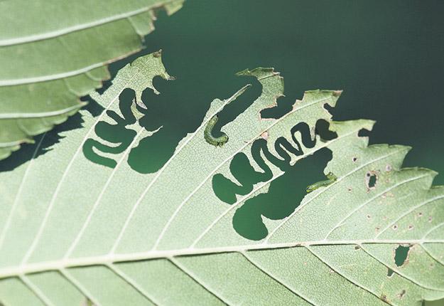La présence de l'insecte ne trompe pas. Ses larves creusent des canaux en zigzag dans les feuilles. Photo : Gracieuseté de Ressources naturelles Canada