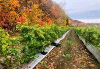 Le 22 octobre au matin, les propriétaires de la ferme ont constaté s'être fait dérober 500 kg de raisins durant la nuit. Les responsables ont aussi laissé traîner des sacs de poubelle noirs sur place. Photo : Vignoble et Cidrerie Coteau Rougemont