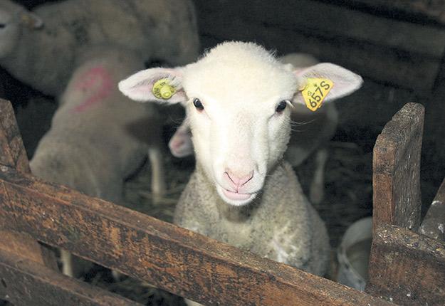 L'engouement pour l'achat local en temps de pandémie a profité au secteur de l'agneau. Photo : Archives/TCN