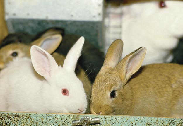 Le fonds de réserve a permis à l'agence de vente d'offrir aux acheteurs un rabais sur le prix de vente des lapins sans que les producteurs en subissent les contrecoups durant la crise. Photo : Archives/TCN