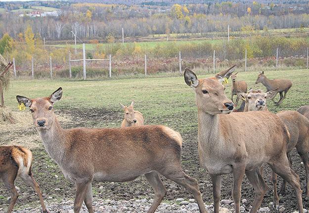 Bien que l'enquête de l'Agence canadienne d'inspection des aliments (ACIA) n'ait pu identifier la provenance de la maladie au Québec, les conséquences ont été nombreuses et dévastatrices pour le cerf rouge au Québec. Photos: Archives/TCN