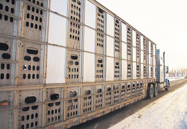 Améliorer les conditions de transport aurait un impact positif pour les fermes laitières qui pourraient tirer un meilleur prix de leurs veaux à l'encan et pour les fermes de veaux lourds qui bénéficieraient d'un troupeau en meilleure santé.