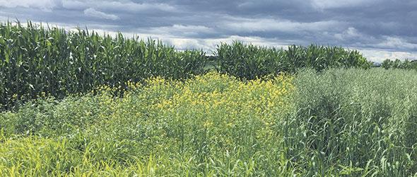 Pour évaluer les effets des engrais verts, on a semé une parcelle de vesce velue et de moutarde, une autre avec de l'avoine et du trèfle incarnat en intercalaire et une troisième parcelle témoin avec du maïs. Photo : Gracieuseté