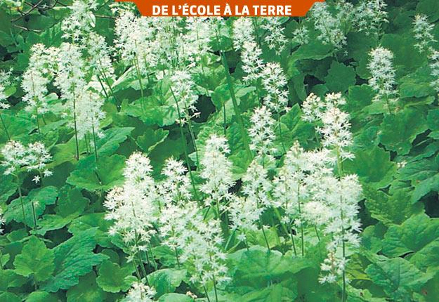 Des centaines de plantes indigènes telles que Tiarella cordifolia sont offertes sur le marché. Photo : Gracieuseté du département d'horticulture du Collège Montmorency