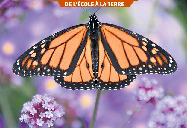 Monarque profitant d'une source automnale de nectar. Photo : Gracieuseté de Claude Vallée