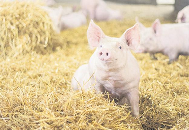 Grâce à la paille chez duBreton, les porcs sont en mesure de fouiner. Photos : Gracieuseté de duBreton
