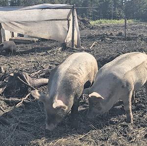 Les cochons rustiques, dont l'enclos est régulièrement déplacé, sont utilisés pour labourer et enrichir la terre.