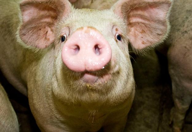 Le nouvel organisme sera autofinancé par un système de redevances sur le porc d'importation. Crédit photo : Archives/TCN