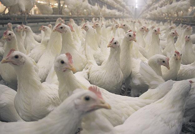 Une étude menée par l' EQCMA a démontré que MS est présent chez tous les types d'oiseaux et dans toutes les régions du Québec.