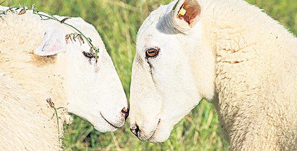 Le CEPOQ participe activement à près d'une dizaine de projets de recherche ou de transfert de connaissances, directement liés à la santé des ovins.