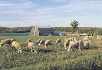 L'élevage ovin a beaucoup évolué dans les dernières années, et ce, dans toutes les facettes de la production. Les producteurs ovins sont d'ailleurs répartis un peu partout sur l'ensemble du territoire québécois. Photos: Gracieuseté du CEPOQ