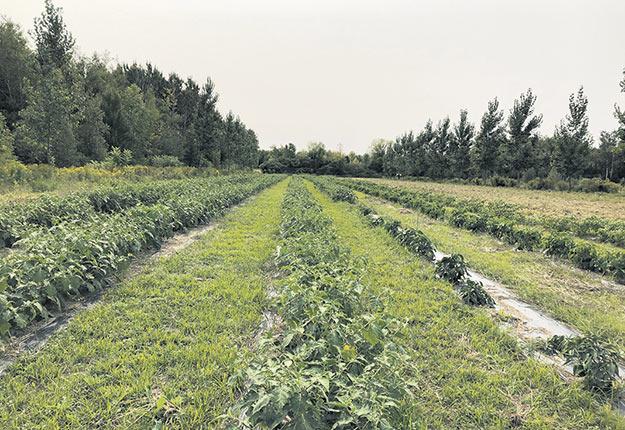 Les arbres plantés en 2013 à Notre-Dame-de-l'Île-Perrot ont permis de protéger des cultures d'aubergines africaines lors d'un refroidissement soudain des températures. Photo : Gracieuseté de la Ville de Notre-Dame-de-l'Île-Perrot