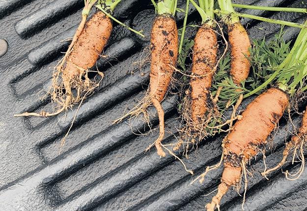 Chez la carotte, les nématodes entraînent des déformations importantes de la racine principale, ainsi que des radicelles plus nombreuses et la présence de petits kystes blanchâtres. Photo : Gracieuseté d'Éliane Lauzon-Laurin