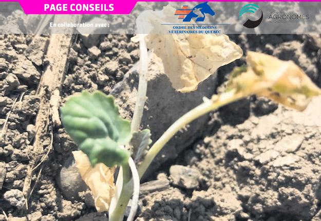 Transplant de crucifère nouvellement mis en terre et affecté par le gel printanier et la sécheresse du début de la saison 2020. Photo : Gracieuseté du MAPAQ