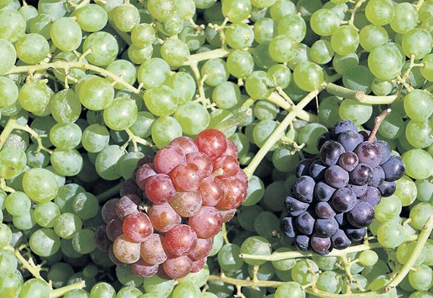 Le raisin de table est produit en trois couleurs au Québec. Photo : Gracieuseté Ferme 45e parallèle