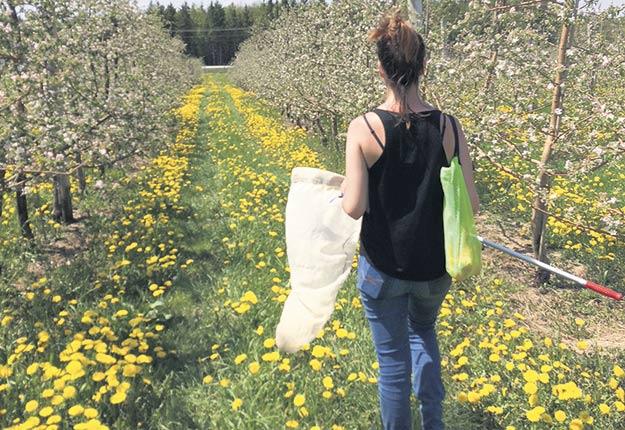 L'étude menée par l'Université Laval, l'Université de Sherbrooke et l'IRDA s'est intéressée à la biodiversité de 12vergers du sud du Québec, où les reines bourdons jouent un rôle de premier ordre. Photos : Gracieuseté d'Amélie Gervais
