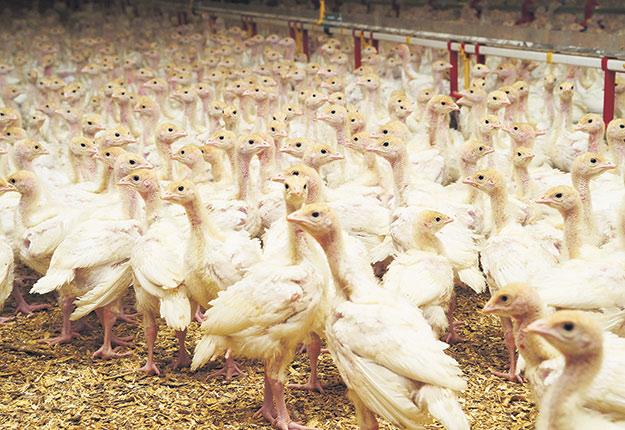 En 50 ans, la production avicole québécoise a vu ses fermes passer d'élevages artisanaux à entreprises modernes. Photo : Archives/TCN