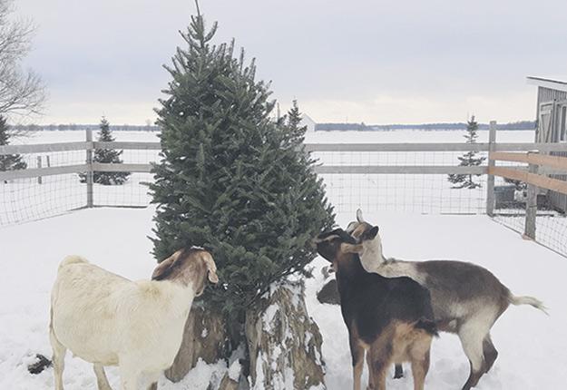 Les chèvres prennent environ trois jours à grignoter l'ensemble d'un sapin. Photo : Gracieuseté de Marlene Dagenais