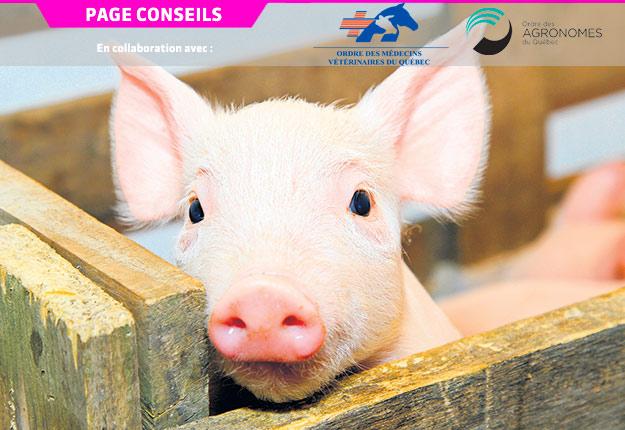 Le pathogène porcin Streptococcus suis est responsable de pertes économiques dans les élevages, cause des soucis en bien-être animal et devient de plus en plus une niche pour la résistance aux antibiotiques.
