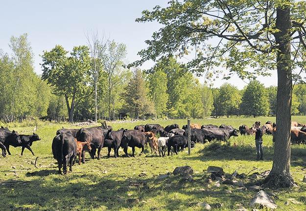 Les pâturages doivent être bien gérés lors de l'alimentation du troupeau. Il faut absolument éviter la surpaissance, c'est-à-dire le fait qu'un animal prenne deux bouchées sur une même plante, ce qui l'épuise, depuis les feuilles jusqu'aux racines. Photo : Les Producteurs de bovins du Québec