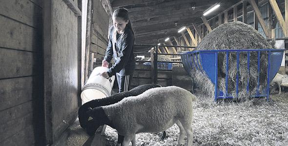 La contribution de Zoe, l'aînée, gagne en importance à la ferme.  Elle s'occupe de faire les mélanges de grains, en plus de soigner les agneaux et les poules de la ferme.