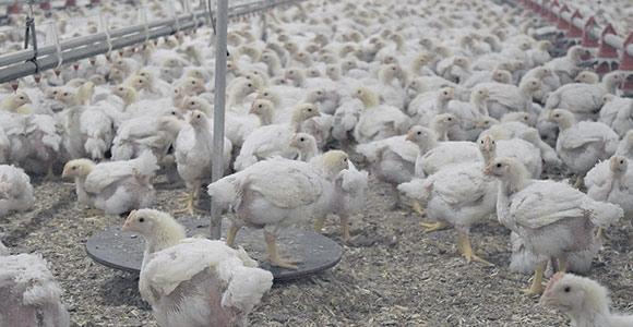 L'algorithme parvient à prédire la courbe de croissance des poulets dans les 14 jours à venir avec un haut degré de précision.